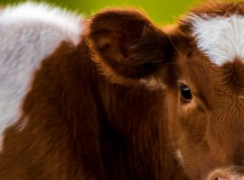 Close up view of a cow