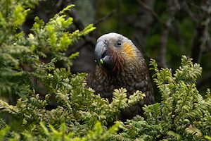 Kaka bird in a native forest in New Zealand
