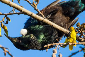 Tui hanging in a Kowhai tree