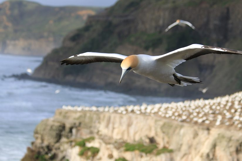 Bird flying over cliffs at the edge of the sea